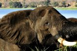 Elefant Botswana Okavango Gruppenreise Reisekontor Schmidt