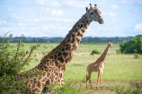 Giraffen vor Nairobi Kenia Urlaub