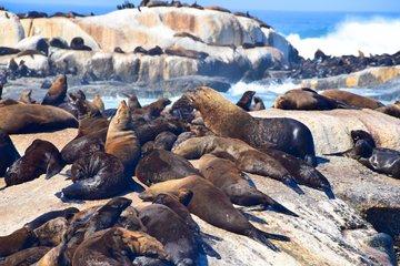 Gruppenreise Südafrika Robben sonnen sich auf Steinfelsen