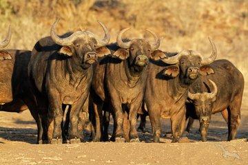 Gruppenreise Südafrika Büffelherde