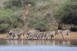 Gruppenreise Südafrika Zebras Giraffen