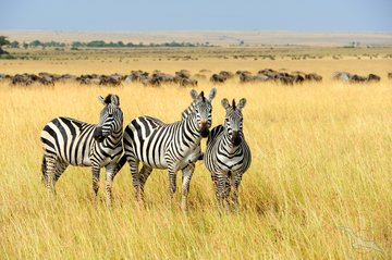 Gruppenreise Südafrika Zebras