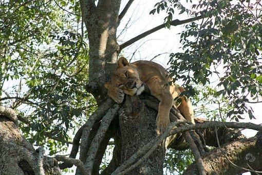 Auf Kenia Safari im Lake Nakuru Nationalpark mit Kenia Urlaub Spezialist Reisekontor Schmidt - Löwe