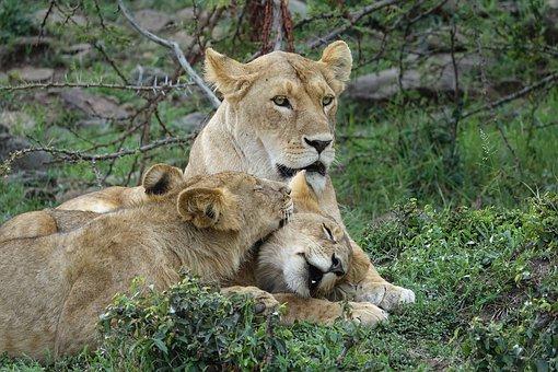Kenia Safari in der Masai Mara mit Keniaspezialist Reisekontor Schmidt - Löwen
