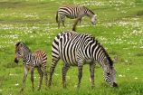 Zebras-in-Tanzania-auf-Safari-entdecken
