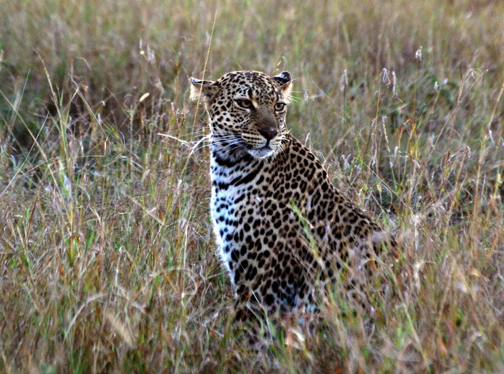 Leopard in der Masai Mara in Kenia - auf Kenia Safari
