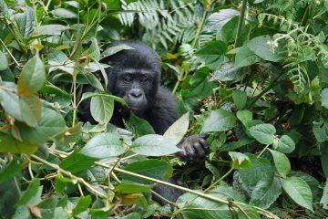 Berggorillas in Afrika - Population steigt wieder