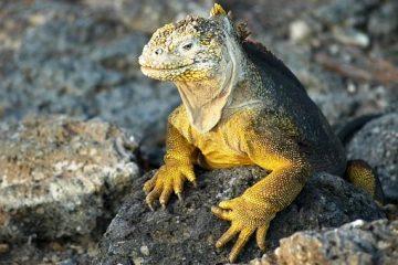 Echse auch den Galapagosinseln