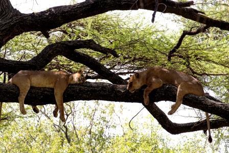Im Kenia Urlaub auf Kenia Safari in der Masai Mara - Löwen zur Mittagsruhe
