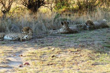 Geparden während einer Kenia Safari mit Keniaspezialist keniaurlaub.de Reisekontor Schmidt