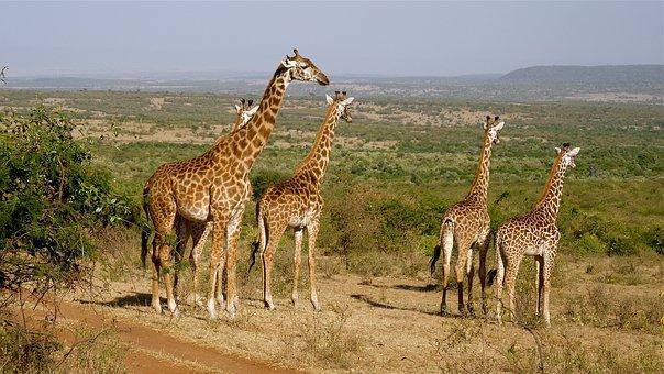 Kenia Safari Tour Giraffen