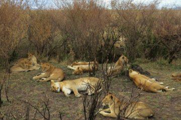 Löwengruppe während einer Kenia Safari mit Keniaspezialist keniaurlaub.de Reisekontor Schmidt