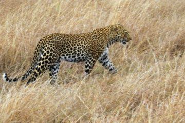 Leopard während einer Kenia Safari mit Keniaspezialist keniaurlaub.de Reisekontor Schmidt