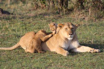 Kenia Safari Reise Löwen in der Masai Mara Keniaurlaub Safari