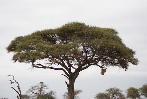 Akazie in Kenia