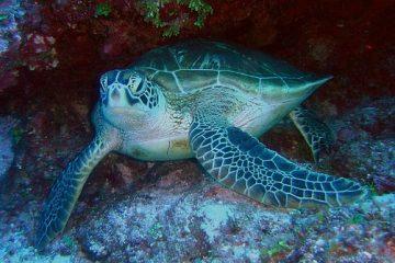 Grüne Meeresschildkröte in Kenia Lamu