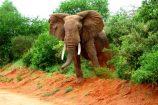 Elefant während einer Kenia Safari im Tsavo West Nationalpark mit KeniaSpezialist Keniaurlaub.de Reisekontor Schmidt