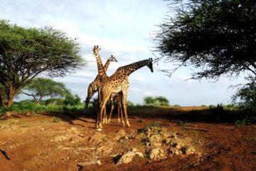 Giraffen während einer Kenia Safari im Tsavo West Nationalpark mit KeniaSpezialist Keniaurlaub.de Reisekontor Schmidt