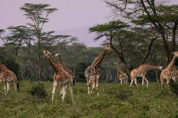 Kenia Safari Giraffen in der Savanne