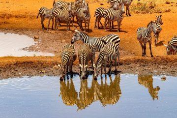 Zebras im Amboseli Nationalpark in Kenia während einer Kenia Safari Tour