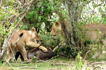 Kenia Reise mit Masai Mara Safaritour mit KeniaSpezialist Keniaurlaub.de reisekontor Schmidt Leipzig, Safaritour - Löwen fressen
