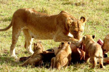 Kenia Safari Tour Löwen während einer Safari mit KeniaSpezialist keniaurlaub.de Reisekontor Schmidt