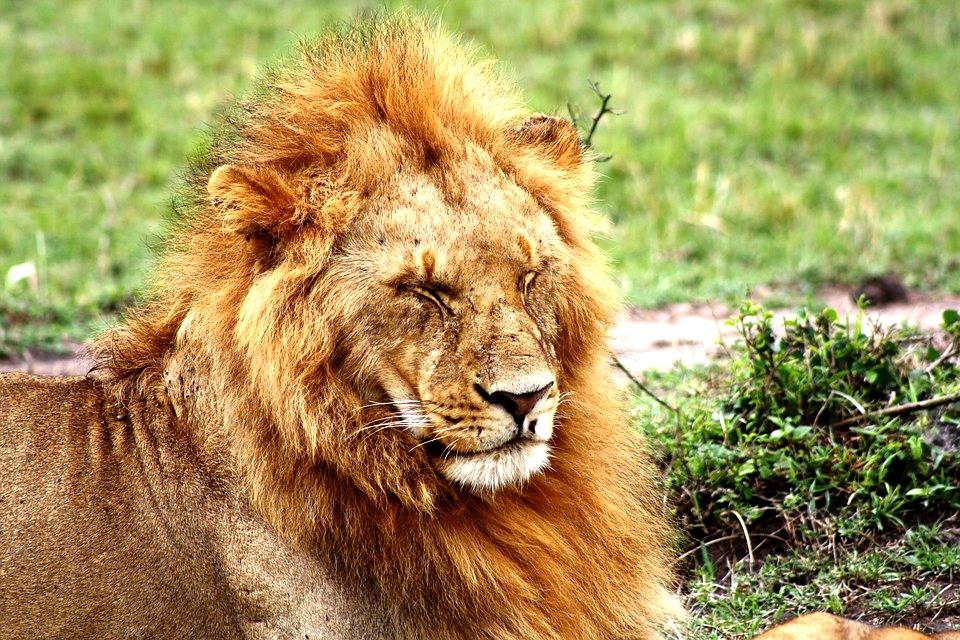 Löwe in der Masai Mara Kenia Safari Keniaurlaub