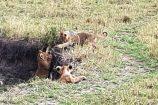 Kenia Reise mit Masai Mara Safaritour mit KeniaSpezialist Keniaurlaub.de Reisekontor Schmidt Leipzig, Safari Tour - Löwenbabys