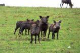 Kenia Reise mit Masai Mara Safaritour mit KeniaSpezialist Keniaurlaub.de Reisekontor Schmidt Leipzig, Safari Tour - Warzenschweine