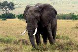 Kenia Reise mit Masai Mara Safaritour mit KeniaSpezialist Keniaurlaub.de Reisekontor Schmidt Leipzig, Safari Tour - Elefant