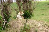 Kenia Reise mit Masai Mara Safaritour mit KeniaSpezialist Keniaurlaub.de Reisekontor Schmidt Leipzig, Safari Tour - Gepard