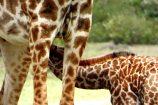 Kenia Reise mit Masai Mara Safaritour mit KeniaSpezialist Keniaurlaub.de Reisekontor Schmidt Leipzig, Safari Tour - Giraffe mit Baby