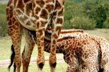 Kenia Reise mit Masai Mara Safaritour mit KeniaSpezialist Keniaurlaub.de Reisekontor Schmidt Leipzig, Safari Tour - Giraffe mit Babys