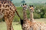 Kenia Reise mit Masai Mara Safaritour mit KeniaSpezialist Keniaurlaub.de Reisekontor Schmidt Leipzig, Safari Tour - Giraffenabys