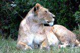 Kenia Reise mit Masai Mara Safaritour mit KeniaSpezialist Keniaurlaub.de Reisekontor Schmidt Leipzig, Safari Tour - Löwen
