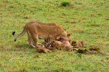 Kenia Reise mit Masai Mara Safaritour mit KeniaSpezialist Keniaurlaub.de Reisekontor Schmidt Leipzig, Safari Tour - Löwen fressen