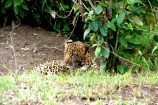 Kenia Reise mit Masai Mara Safaritour mit KeniaSpezialist Keniaurlaub.de Reisekontor Schmidt Leipzig, Safari Tour - Leopard