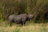 Kenia Reise mit Masai Mara Safaritour mit KeniaSpezialist Keniaurlaub.de Reisekontor Schmidt Leipzig, Safari Tour - Nashorn