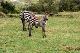 Kenia Reise mit Masai Mara Safaritour mit KeniaSpezialist Keniaurlaub.de Reisekontor Schmidt Leipzig, Safari Tour - Zebras