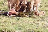 Safari in der Masai Mara - Reisegruppe des Kenia Spezialist keniaurlaub.de Reisekontor Schmidt Leipzig - hungrige Löwen