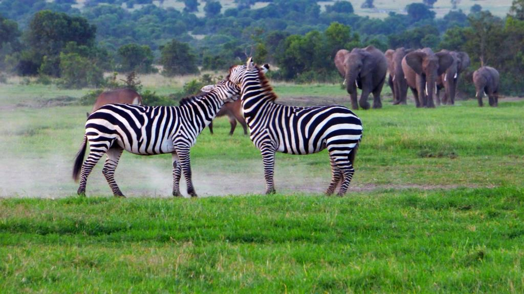 Kenia Safari Tour Zebras kämpfen