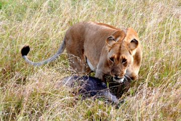 Löwin während einer Safari in Kenia mit KeniaSpezialist Keniaurlaub.de Reisekontor Schmidt