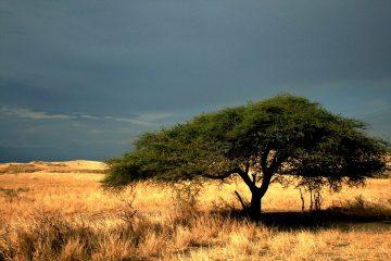 Akazie - wertvoller Rohstofflieferant in Kenia