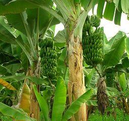 Bananenstaude - ihre Fasern werden u.a. zu Taschen weiterverarbeitet