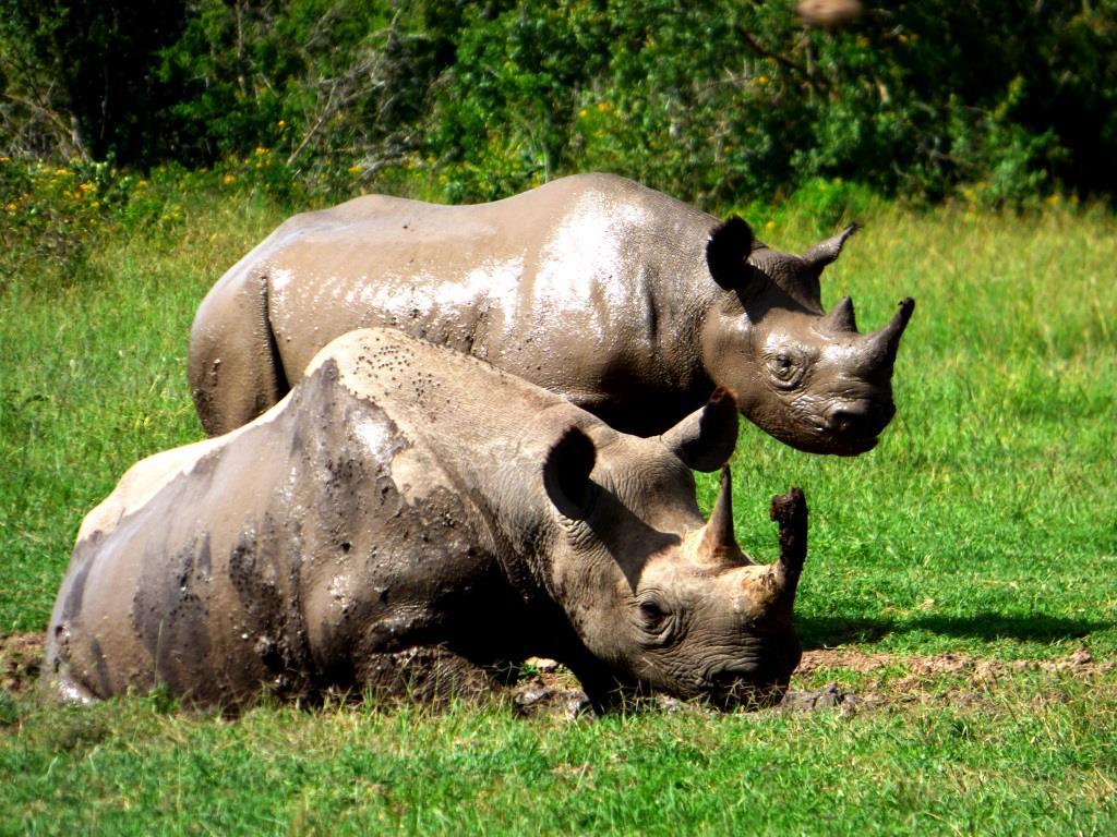 Kenia Safari Tour Breitmaulnashörner während einer Kenia Safari mit Kenia Spezialist keniaurlaub.de Reisekontor Schmidt Leipzig