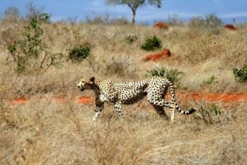 Kenia Safari Tour Kenia Reise Gepard