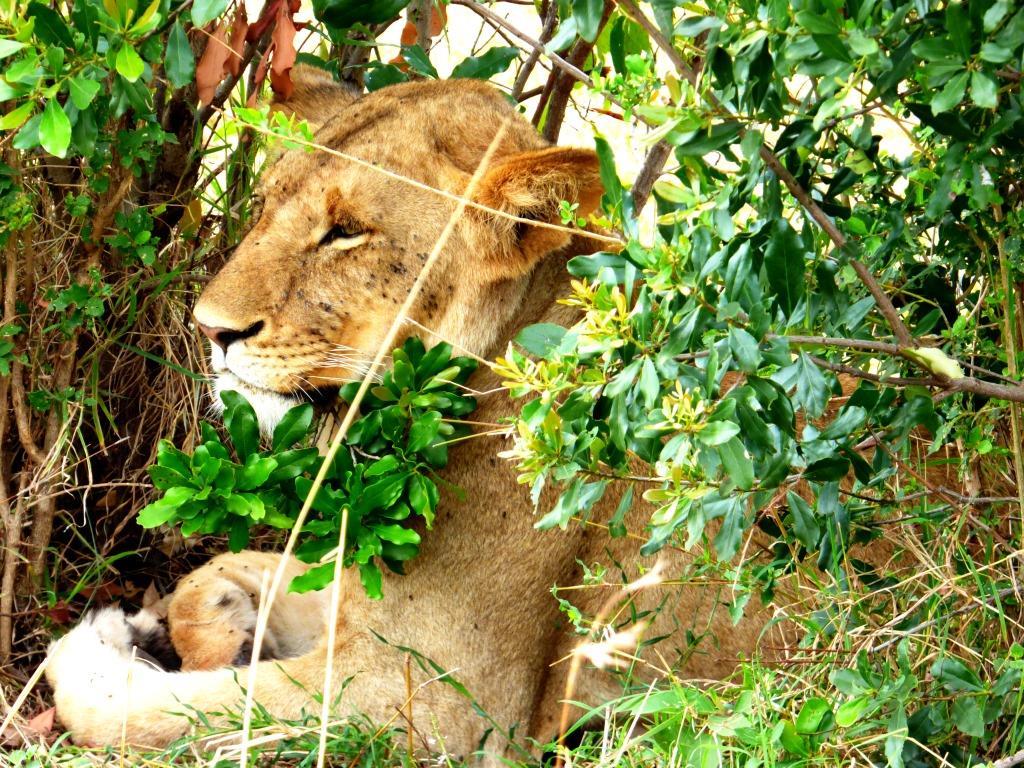 Löwin auf einer Kenia Safari Tour in der Masai Mara mit Keniaspezialist Keniaurlaub.de Reisekontor Schmidt Leipzig