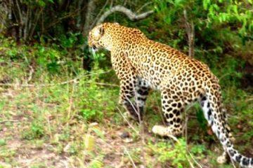 Masai Mara Safari KeniaSpezialist Keniaurlaub Safari Tour Leopard