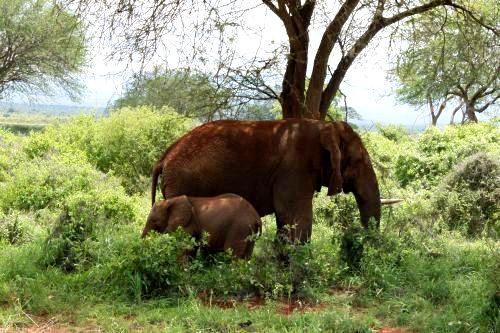 Elefanten im Tsavo Ost Nationalpark Kenia während einer Kenia Safari mit KeniaSpezialist keniaurlaub.de Reisekontor Schmidt Leipzig