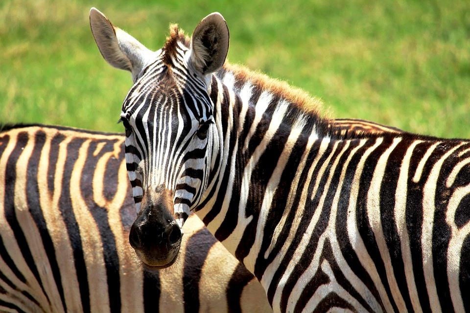 Kenia Safari: Zebras im Tsavo während eines Keniaurlaubs